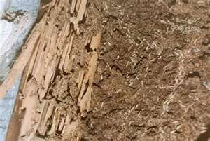homestead termites
